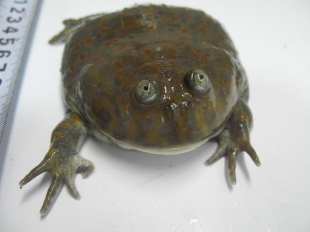 ガエル バジェット バジェットガエルの体調